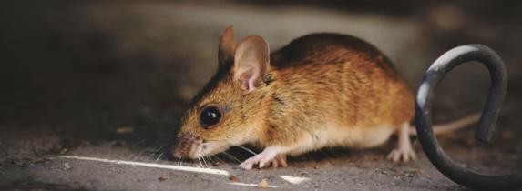 muizen in het plafond