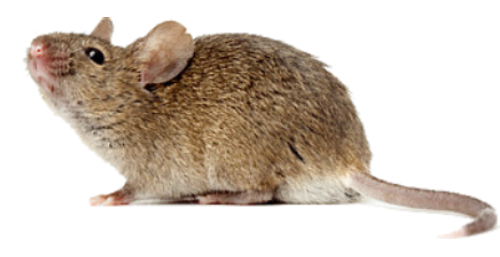 Grote muis